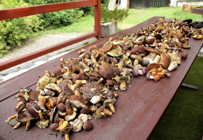 Pilze Vitalpilze Heilpilze Medizinsche Pilze