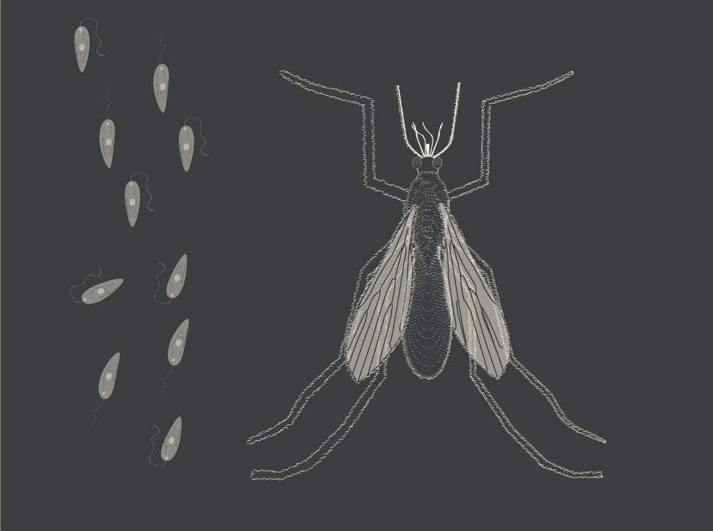 Sandmücke Parasiten Parasitose Leishmaniose Leishmania Leishmanien Hund Katze Artemisa Curcumin Kurkumin Artemisinin
